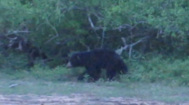 Sloth Bear Chase in Yala